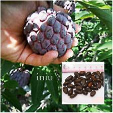 5 Organic Tree Seeds Sugar Custard Apple Annona Squamosa