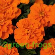 Marigold French Bonanza Deep Orange Mix DET 50 seeds GMO Free Aussie Seller