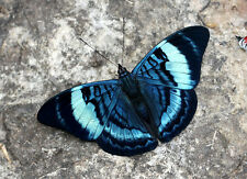 ONE REAL BUTTERFLY BLUE PERUVIAN PANACEA PAPERED UNMOUNTED WINGS CLOSED