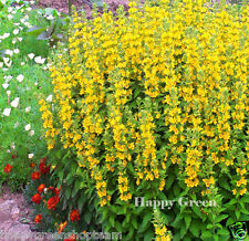 YELLOW SPOTTED LOOSESTRIFE - Lysimachia punctata - 600 SEEDS - PERENNIAL FLOWER