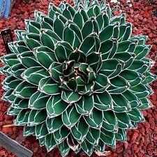QUEEN VICTORIA AGAVE (Agave victoriae-reginae) 10 seeds