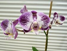 Orchid, Phalaenopsis, ' Mystery Orchid ', South Florida Grown