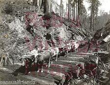 Logging w/ Oxen in Pacific Northwest Log roads 1900 Old Vintage History photo