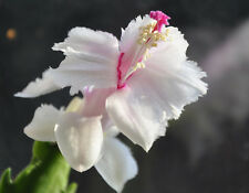 Christmas Cactus - ASPEN - Schlumbergera - Easy to Grow - 5 Double Segments