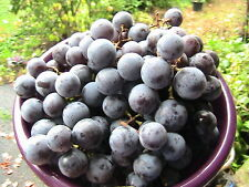 5 Concord Grape Seeds -Cold Stratified