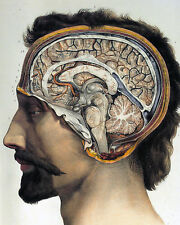 Vintage Medical Anatomy Brain Illustration Chart 8x10 Real Canvas Art Print New