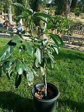 Mexicola Stuart grafted avocado fruit tree 3 to 4 ft tall hardy to 18 degrees