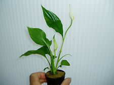 PLANTA DE ACUARIO.Spathyphyllum green