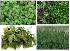 CHINESE MINT HERB PLANT 100+SEEDS FLAT RATE OFFER $1.99 FOR AS MANY LISTINGS