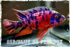 African Cichlids, 5 All Male Show Quality Peacocks, FREE SHIPPING!