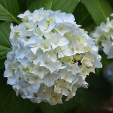 10X Potting Garden White Hydrangea Seeds Decorate Resistant Easy Grow Flower