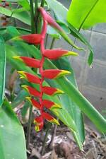*UNCLE CHAN*  A RHIZOME Heliconia Rotrata EXOTIC TROPICAL PARROTS BEAK PLANT