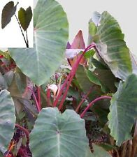 "Colocasia plant ""Pink China"" elephant ear zone 6 -10"
