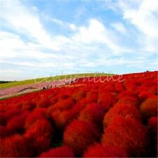 100X Heirloom Seed Grass Burning Bush Kochia Scoparia Red Flower Home Garden