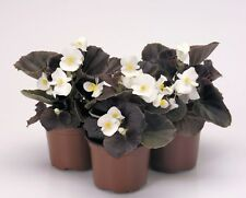 30+ GORGEOUS BEGONIA NIGHTLIFE  PURE WHITE FLOWER SEEDS  / BRONZE LEAF /  ANNUAL