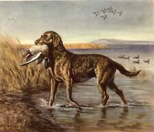 Chesapeake Bay Retriever - Dog Print - Megargee Matted