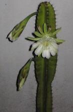 """huge 20"""" CUTTING of Night Blooming Cactus Cereus Repandus Peruvian Apple Cactus"""