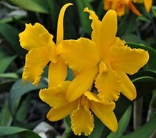 Orchid - BLC Andean Treasure Concolor Yellow