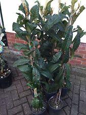 Níspero Nispero (Eriobotrya japonica) árbol.