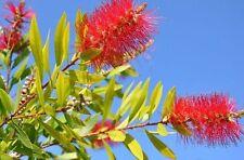 Eine aussergewöhnliche Pflanze für Ihre Terrasse: der rote Zylinderputzer.