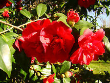 JAPANESE CAMELLIA or ROSE OF WINTER seedling - EVERGREEN WINTER FLOWERING SHRUB