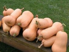 Squash Seeds- Waltham Butternut- Heirloom- 20+ Seeds
