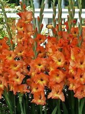 Gladiolus bulbs (corms) - Olympic Flame (10 Bulbs) Summer flowering, Perennial