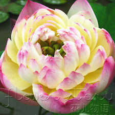 10 Seeds Philippines Gold Lotus Lotus Seeds China Rare Fragrance Water Plants
