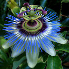 10PCS SEEDS Passion Fruit Passion Passiflora Edulis Germination Seed Vegetables