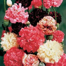 POPPY PEONY DOUBLE Mixed✿1000 SEEDS✿Papaver✿TALL Lg Cut Flowers Red Pink White