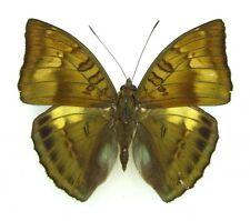 Bronze duke butterfly Bassarona nara nara SET x1 TS A- M  china butterfly art