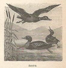 A6663 Anitra - Stampa Antica del 1924 - Xilografia