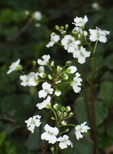 Cardamine Trifolium Hermosa planta alpina se arrastra Cobertora Floración