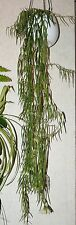 Hoya linearis ( 2 cuttings) for conservatory & hanging basket