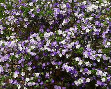 Brunfelsia latifolia•10 Samen/seeds•Duft•'Yesterday-Today-and-Tomorrow'