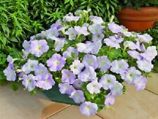 25 Pelleted Seeds Ramblin Lilac Glo Petunia Seeds Trailing Petunia