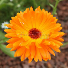 400 Calendula Seeds Popular houseplants Yellow color beautiful TT440