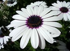 OSTEOSPERMUM ECKLONIS - SKY AND ICE  - 40 FLOWER SEEDS
