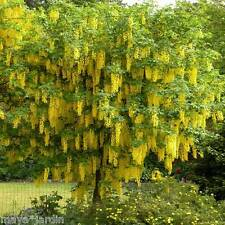 25 graines Pluie d'or Cytise à Grappes (Laburnum) Golden Chain Tree Samen Seeds