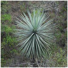 10 graines Dasylirion lucidum, plantes grasses, cactus,seed succulents F