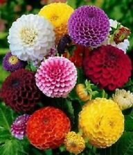 Mixed Dahlia Flower seeds  #  (20 seeds) F-190