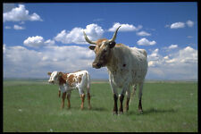 477084 Texas Longhorn Cow And Calf A4 Photo Print