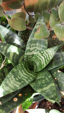 Dwarf Snake Plant glossy deep green with white stripes
