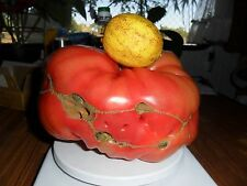 Rare * Giant portuguese Rosa Tomato * 5 fresh seeds *vegetable*own,real pictures