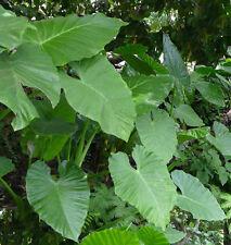 Colocasia Esculenta Taro - 'Elephant Ears' Large Tropical Foliage tubers 2