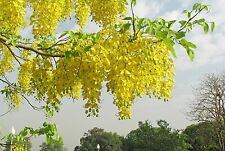 GOLDEN SHOWER TREE SEEDS - Cassia Fistula - Amaltas/ Indian laburnum - 10 Seeds