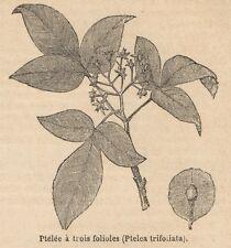 C8505 Ptelea trifoliata - Stampa antica - 1892 Engraving