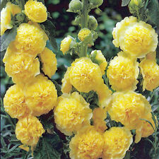 Alcea Rosea Seeds - CHATER'S YELLOW -  Hollyhock - Double Blooms - 25 Seeds
