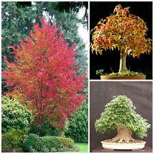 10 semillas Acer buergerianum,Trident maple, semillas bonsai S