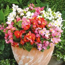 Begonia Ambassador Mix Seeds Flowers All Summer Long - Bedding Begonia